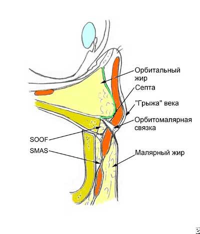1.Нижняя, слабая часть септы растягиваясь дает выпасть окологлазничной клетчатке наружу  в виде «мешков».